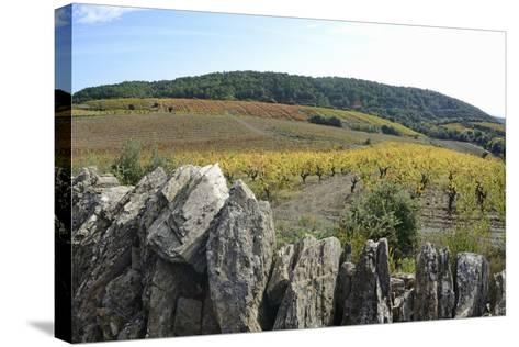 Vineyards with Fall Foliage, AOC Faugeres-Sami Sarkis-Stretched Canvas Print