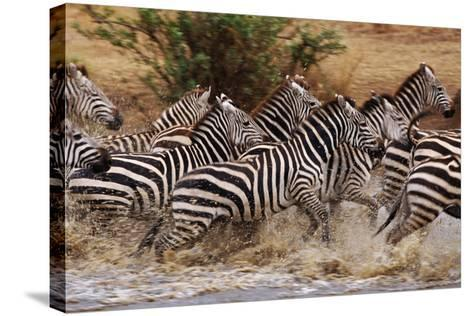 Zebras Running-John Conrad-Stretched Canvas Print