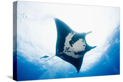 Manta Ray-Stuart Westmorland-Stretched Canvas Print