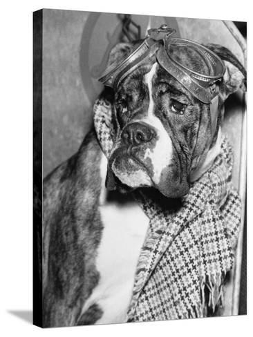 Cute Wrinkled Boxer Dog Dressed-Up in Checked Scarf and Goggles--Stretched Canvas Print