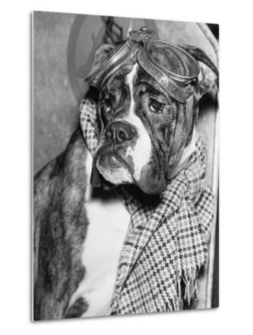 Cute Wrinkled Boxer Dog Dressed-Up in Checked Scarf and Goggles--Metal Print