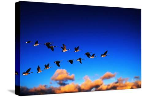 Canada Geese Flying at Sunrise-Chase Swift-Stretched Canvas Print