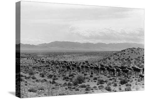 Cattle Drive through Desert-Hutchings, Selar S.-Stretched Canvas Print