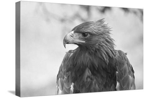 Head of a Golden Eagle--Stretched Canvas Print