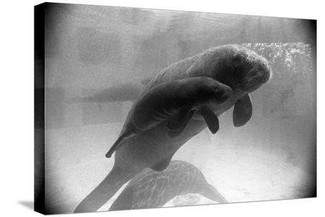 Manatee Mother and Newborn Swimming--Stretched Canvas Print