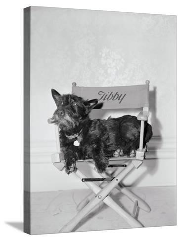 Bette Davis's Dog Tibby--Stretched Canvas Print