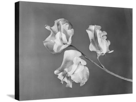Close View of Sweet Peas-Philip Gendreau-Stretched Canvas Print
