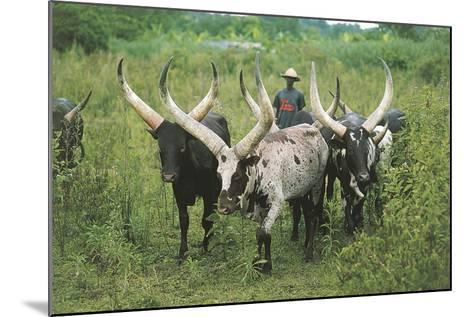 Grazing Cattle, Entebbe, Uganda--Mounted Giclee Print
