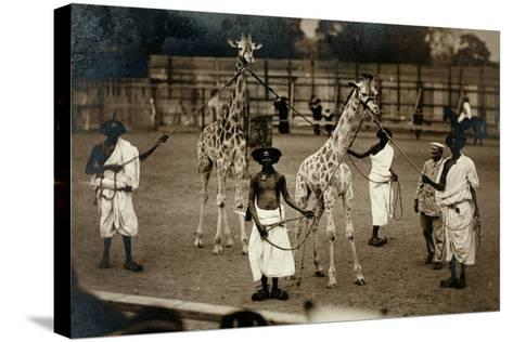 Giraffes and their Somali Handlers, C.1905--Stretched Canvas Print