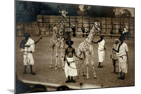 Giraffes and their Somali Handlers, C.1905--Mounted Photographic Print