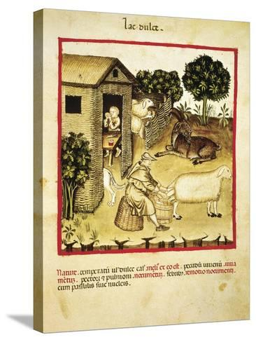 Milking Sheep, Miniature by Giovannino De Grassi from the Tacuinum Sanitatis--Stretched Canvas Print