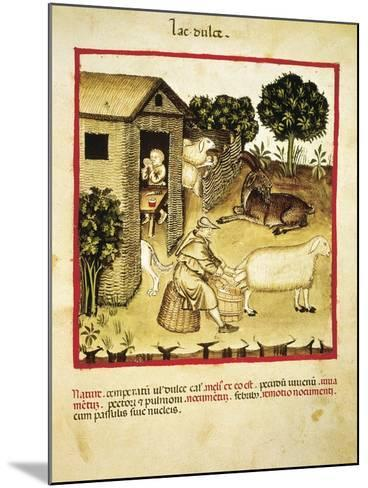 Milking Sheep, Miniature by Giovannino De Grassi from the Tacuinum Sanitatis--Mounted Giclee Print