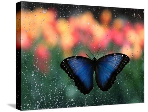 Butterfly in the White River Gardens, Indianapolis, Indiana, USA-Anna Miller-Stretched Canvas Print