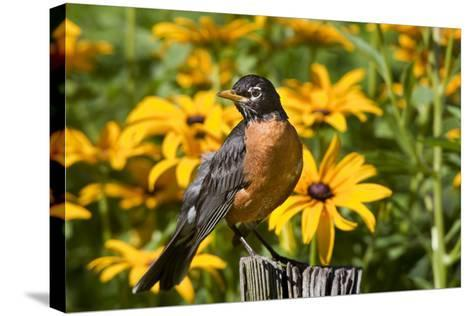 American Robin on Fence Post in Garden, Marion, Illinois, Usa-Richard ans Susan Day-Stretched Canvas Print