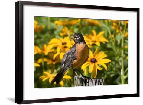 American Robin on Fence Post in Garden, Marion, Illinois, Usa-Richard ans Susan Day-Framed Art Print