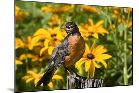 American Robin on Fence Post in Garden, Marion, Illinois, Usa-Richard ans Susan Day-Mounted Photographic Print