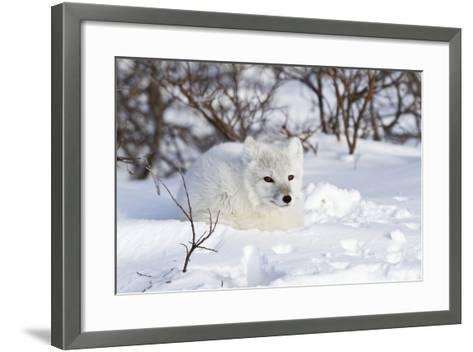 Arctic Fox in Snow, Churchill Wildlife Area, Manitoba, Canada-Richard ans Susan Day-Framed Art Print