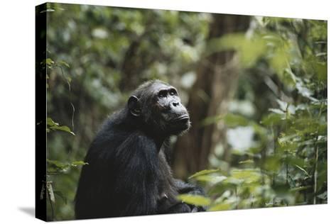 Tanzania, Gombe Stream National Park, Female Chimpanzee-Kristin Mosher-Stretched Canvas Print