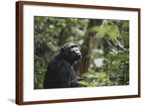 Tanzania, Gombe Stream National Park, Female Chimpanzee-Kristin Mosher-Framed Art Print