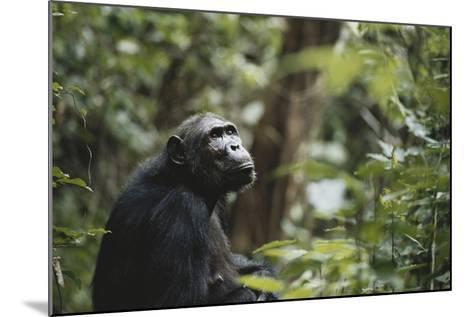 Tanzania, Gombe Stream National Park, Female Chimpanzee-Kristin Mosher-Mounted Photographic Print