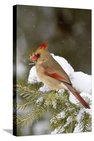 Northern Cardinal in Spruce Tree in Winter, Marion, Illinois, Usa-Richard ans Susan Day-Stretched Canvas Print