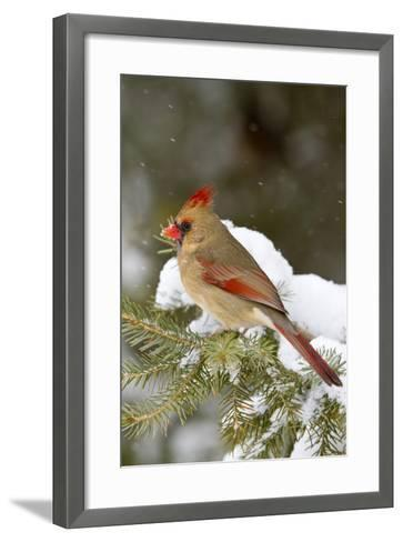 Northern Cardinal in Spruce Tree in Winter, Marion, Illinois, Usa-Richard ans Susan Day-Framed Art Print