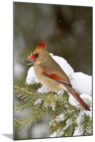Northern Cardinal in Spruce Tree in Winter, Marion, Illinois, Usa-Richard ans Susan Day-Mounted Photographic Print