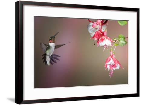 Ruby-Throated Hummingbird Male at Fuschia, Marion, Illinois, Usa-Richard ans Susan Day-Framed Art Print