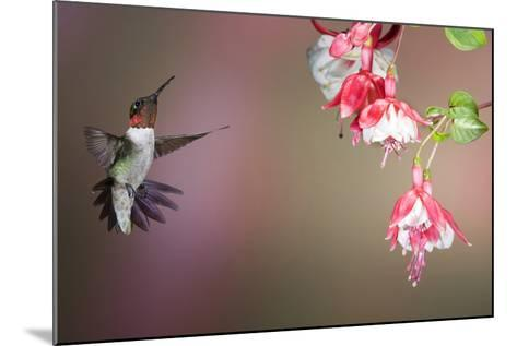 Ruby-Throated Hummingbird Male at Fuschia, Marion, Illinois, Usa-Richard ans Susan Day-Mounted Photographic Print