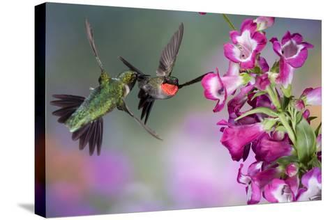 Ruby-Throated Hummingbirds at a Penstemon. Marion, Illinois, Usa-Richard ans Susan Day-Stretched Canvas Print
