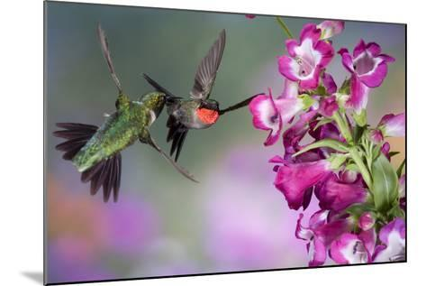 Ruby-Throated Hummingbirds at a Penstemon. Marion, Illinois, Usa-Richard ans Susan Day-Mounted Photographic Print