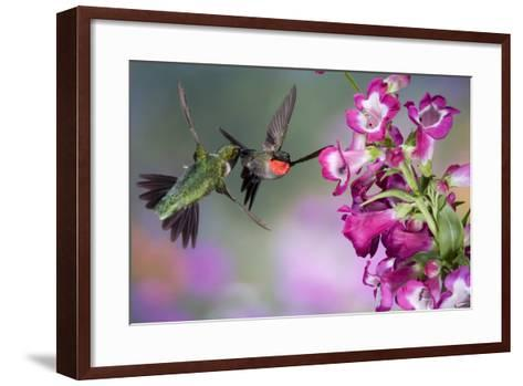 Ruby-Throated Hummingbirds at a Penstemon. Marion, Illinois, Usa-Richard ans Susan Day-Framed Art Print