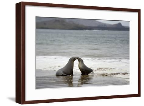 Ecuador, Galapagos Islands, Santiago Island. Galapagos Sea Lion-Kevin Oke-Framed Art Print