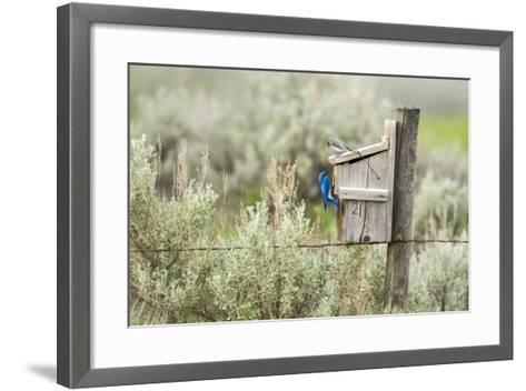 Breeding Pair of Mountain Bluebirds, Mission Valley, Montana, Usa-Chuck Haney-Framed Art Print