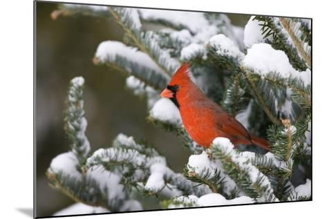 Northern Cardinal in Balsam Fir Tree in Winter, Marion, Illinois, Usa-Richard ans Susan Day-Mounted Photographic Print