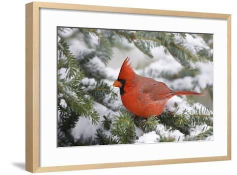 Northern Cardinal in Balsam Fir Tree in Winter, Marion, Illinois, Usa-Richard ans Susan Day-Framed Art Print