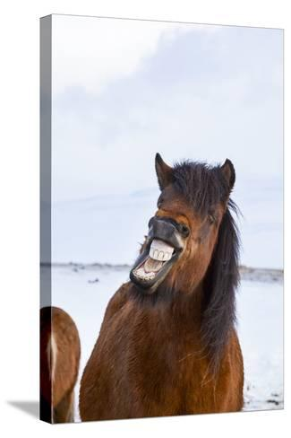 Icelandic Horse During Winter with Typical Winter Coat, Iceland-Martin Zwick-Stretched Canvas Print
