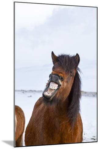 Icelandic Horse During Winter with Typical Winter Coat, Iceland-Martin Zwick-Mounted Photographic Print