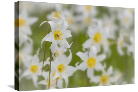 USA, Washington, Mount Rainier NP. Close-Up of Avalanche Lilies-Jaynes Gallery-Stretched Canvas Print