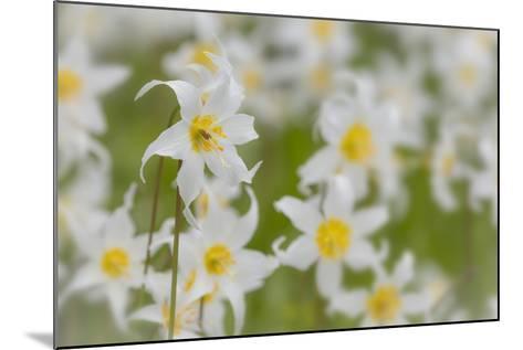 USA, Washington, Mount Rainier NP. Close-Up of Avalanche Lilies-Jaynes Gallery-Mounted Photographic Print