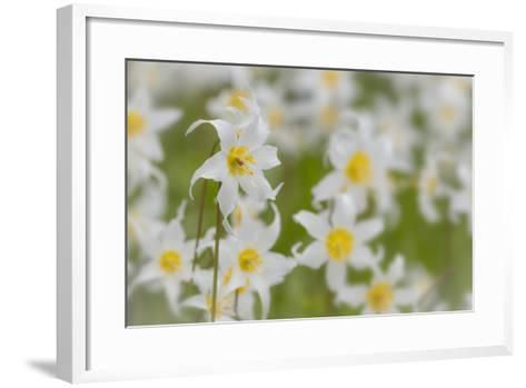 USA, Washington, Mount Rainier NP. Close-Up of Avalanche Lilies-Jaynes Gallery-Framed Art Print