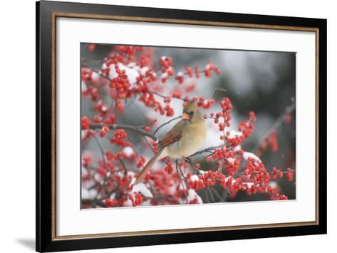 Northern Cardinal in Common Winterberry, Marion, Illinois, Usa-Richard ans Susan Day-Framed Art Print