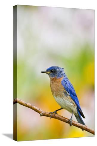 Eastern Bluebird Male in Flower Garden, Marion, Illinois, Usa-Richard ans Susan Day-Stretched Canvas Print