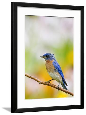 Eastern Bluebird Male in Flower Garden, Marion, Illinois, Usa-Richard ans Susan Day-Framed Art Print