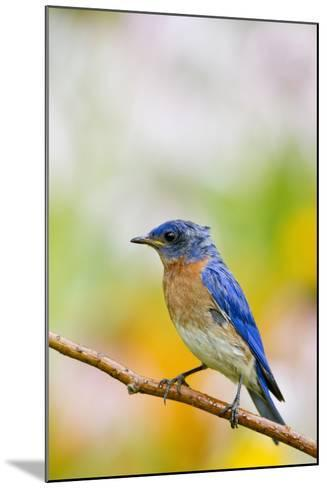 Eastern Bluebird Male in Flower Garden, Marion, Illinois, Usa-Richard ans Susan Day-Mounted Photographic Print