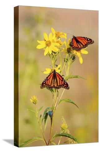 Monarch Butterflies, Prairie Ridge Sna, Marion, Illinois, Usa-Richard ans Susan Day-Stretched Canvas Print
