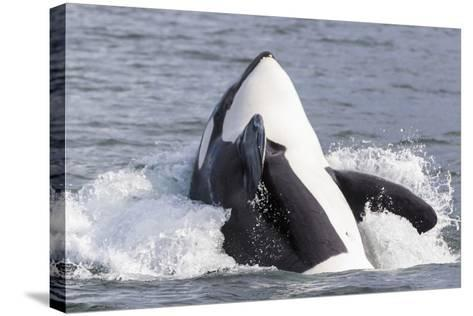 USA, Alaska. Orca Whale Breaching-Jaynes Gallery-Stretched Canvas Print
