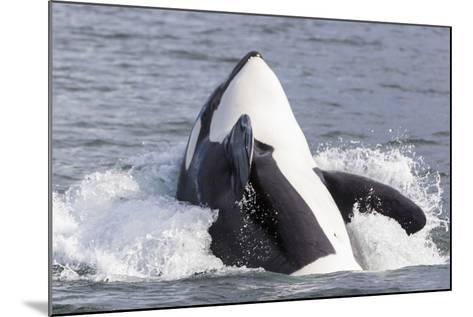 USA, Alaska. Orca Whale Breaching-Jaynes Gallery-Mounted Photographic Print