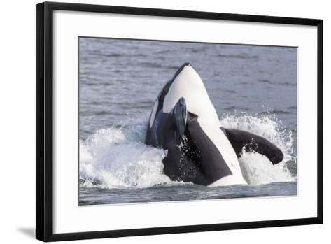 USA, Alaska. Orca Whale Breaching-Jaynes Gallery-Framed Art Print