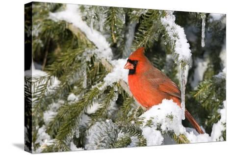 Northern Cardinal on Serbian Spruce in Winter, Marion, Illinois, Usa-Richard ans Susan Day-Stretched Canvas Print